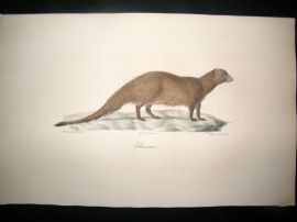 Saint Hilaire & Cuvier C1830 Folio Hand Colored Print. Egyptian Mongoose